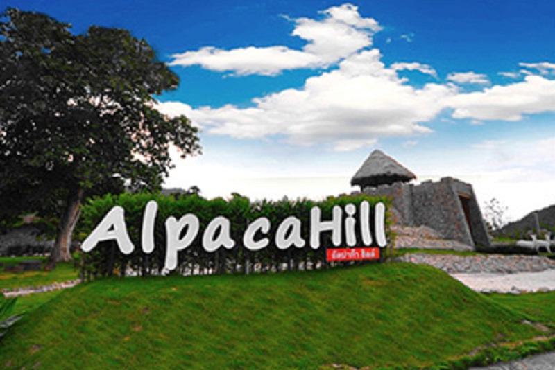 在拉差汶里府的「Alpaca Hill 」主題農場,和超可愛草泥馬有個約